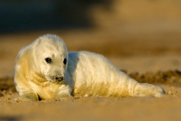Seal pup on Norfolk coast
