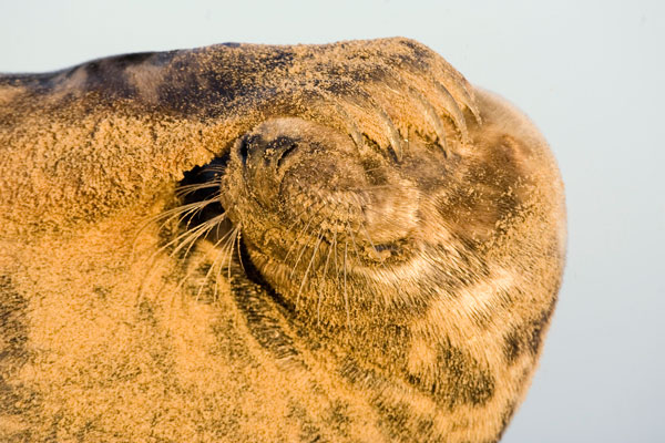 Photograph of a female grey seal pup in Norfolk
