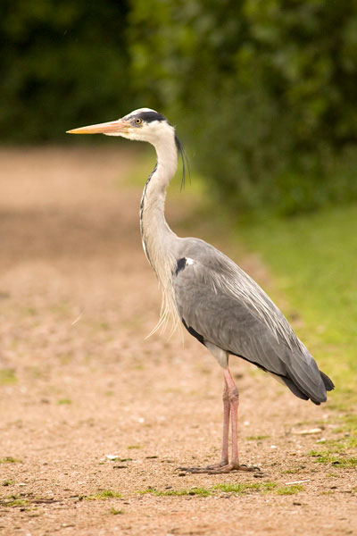 Grey heron photograph