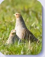 Grey partridge coasters and fridge magnets