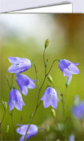 Wild flower cards with photo of harebells