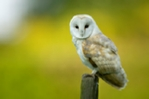 Barn owl hunting from fence post prints and mounted prints