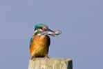 Kingfisher fishing from a post