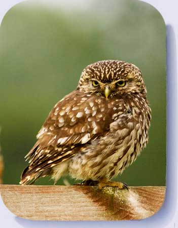 Little owl photo coasters,  and fridge magnets hand made by Peter Mallett Wild Norfolk