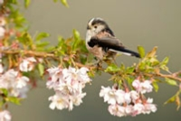 Long-tailed tit in cherry blossom