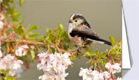 Long-tailed tit in cherry blossom, greeting card