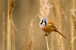 Male bearded tit photograph in cream mount