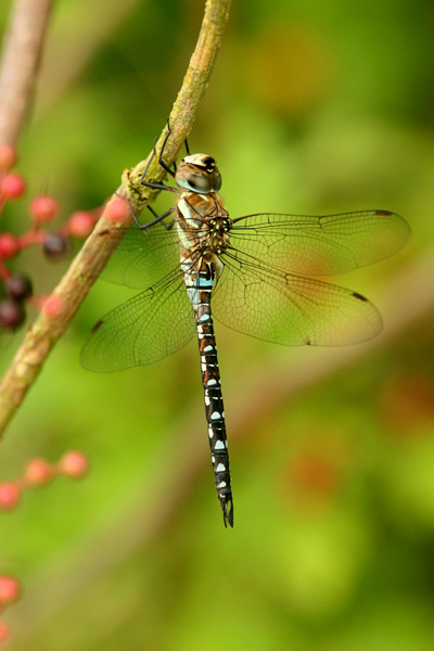 Migrant hawker dragonfly (male)
