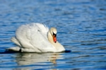 Mute swan swimming on Whitlingham broad Norwich