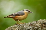 Nuthatch mounted photograph