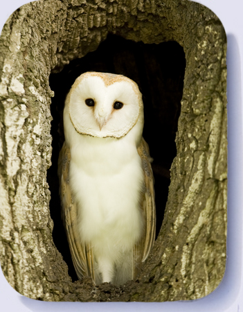 Barn owl photo on fridge magnets and coasters