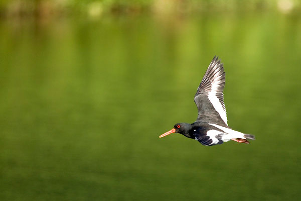 Oystercatcher flying over the lake in Holkham Park