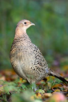 Hen pheasant prints and mounted prints