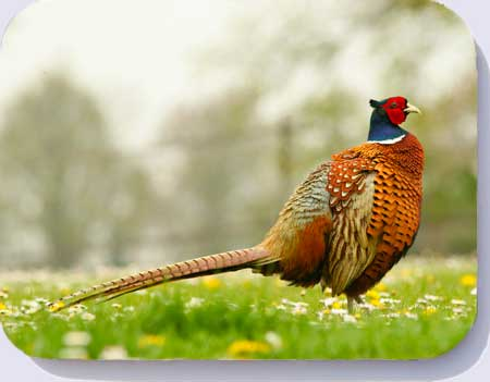 Placemats, coasters and fridge magnets with a photograph of a ring necked pheasant