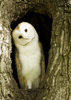 Wild barn owl in tree