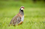 Red-legged (French) partridge feeding on a grass field margin