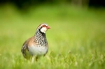Red-legged (French partridge) on a grass field margin