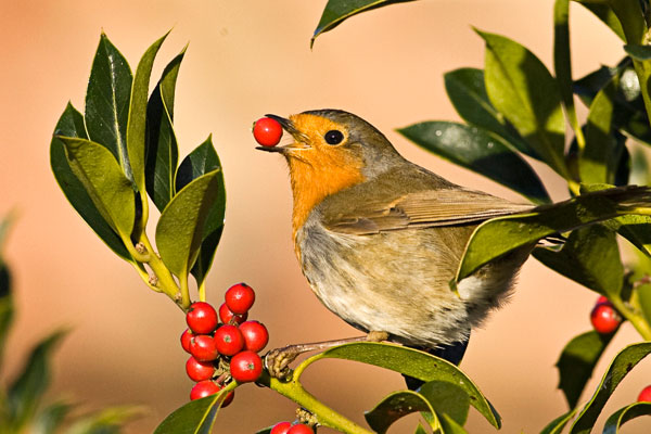 Robin eating holly berries