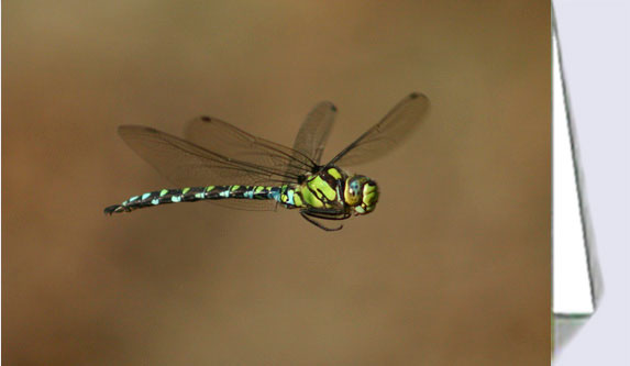 Southern hawker dragonfly greeting card
