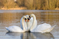 Three mute swans courting