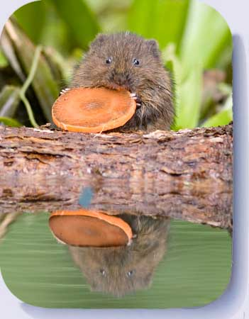 Baby water voles coasters and fridge magnets