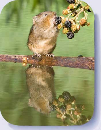 Water vole coasters and fridge magnets