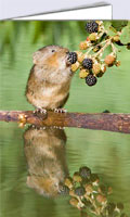 Water vole picking blackberry, blank cards