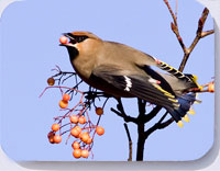 Waxwing photograph on placemats  coasters, and fridge magnets