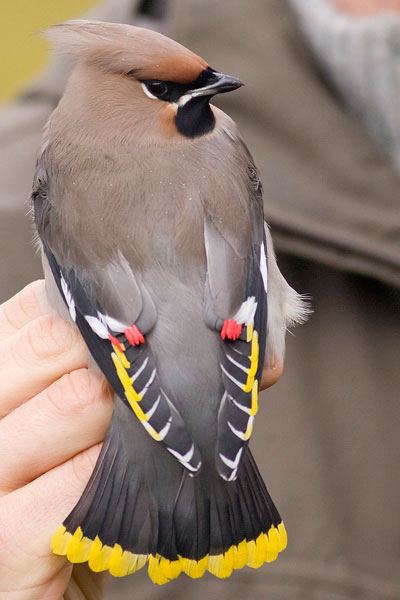 Stunning photo of a waxwing in the hand