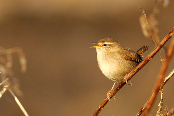 Wren singing from a dock stalk